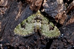 V-Pug (Chloroclystis v-ata)